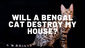 Will A Bengal Cat Destroy My House?
