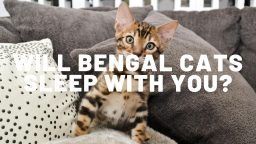 Will Bengal Cats Sleep With You?