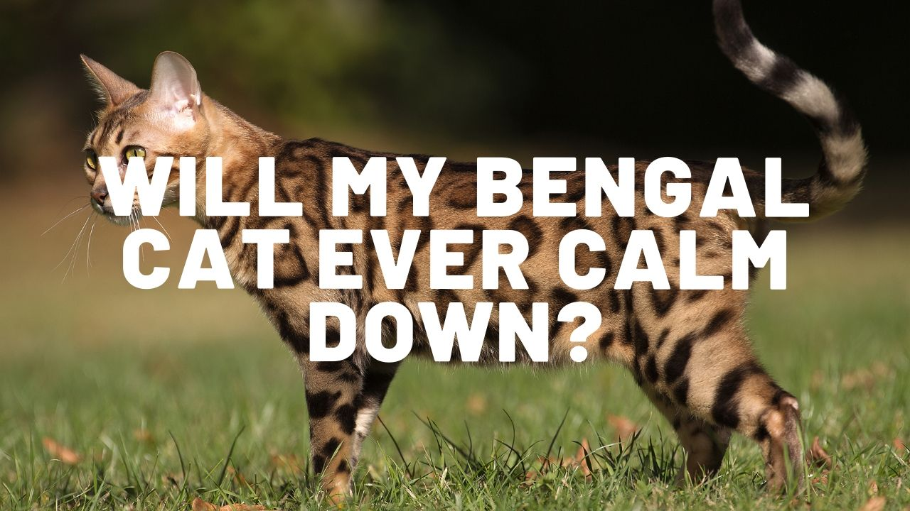 Will My Bengal Cat Calm Down?