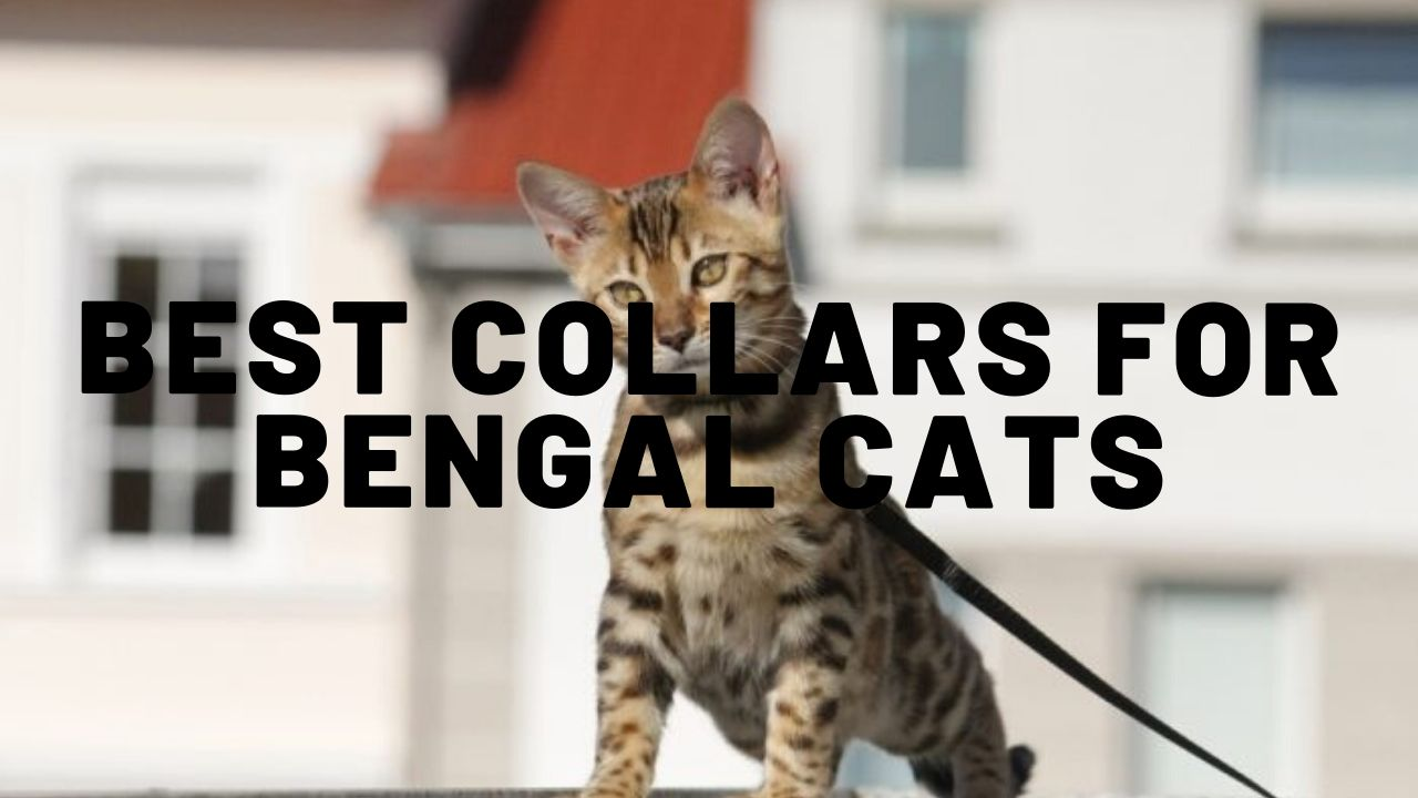 5 Best Bengal Cat Collars