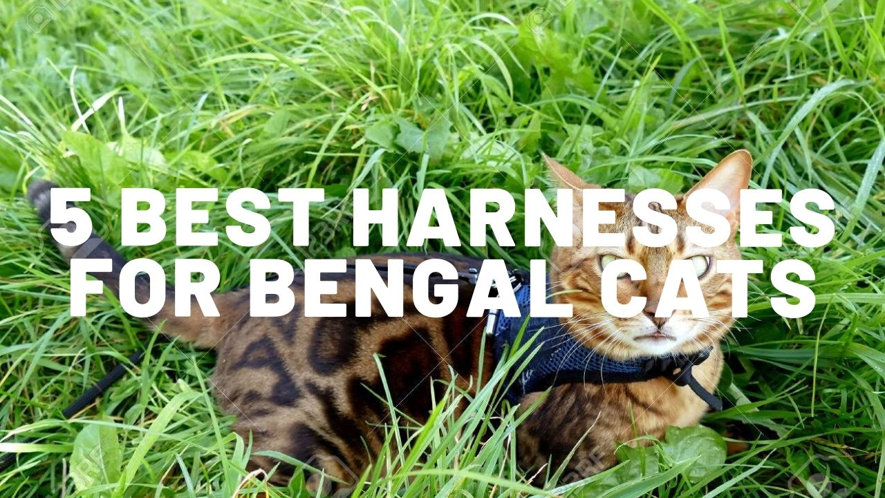 5 Best Harnesses For Bengal Cats