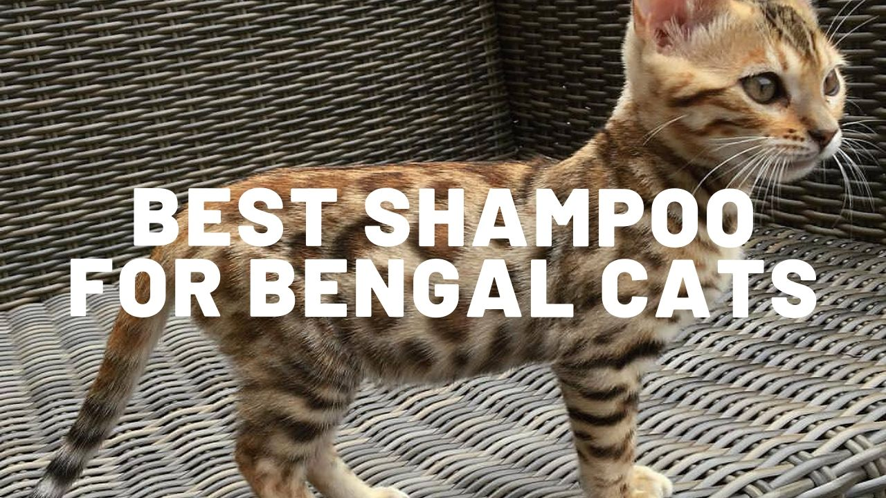 Best Shampoo For Bengal Cats