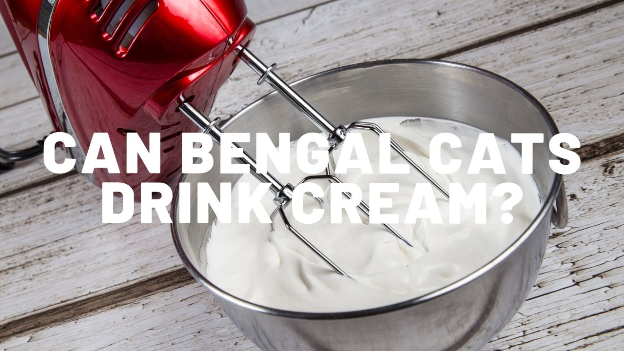 Can Bengal Cats Drink Cream?