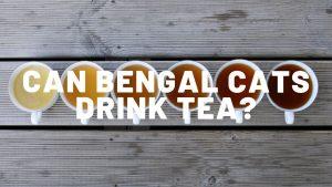 Can Bengal Cats Drink Tea?