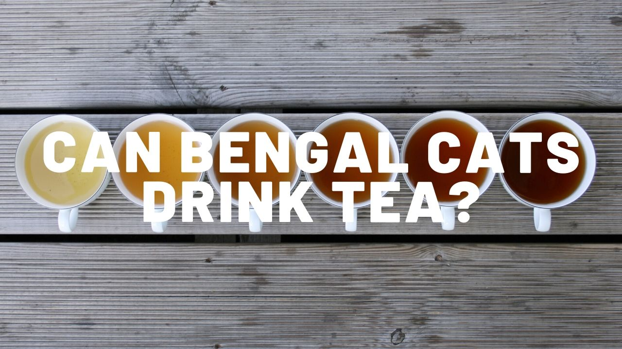 Can Bengal Cats Drink Tea?