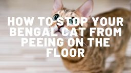 How To Stop Your Bengal Cat from Peeing On The Floor
