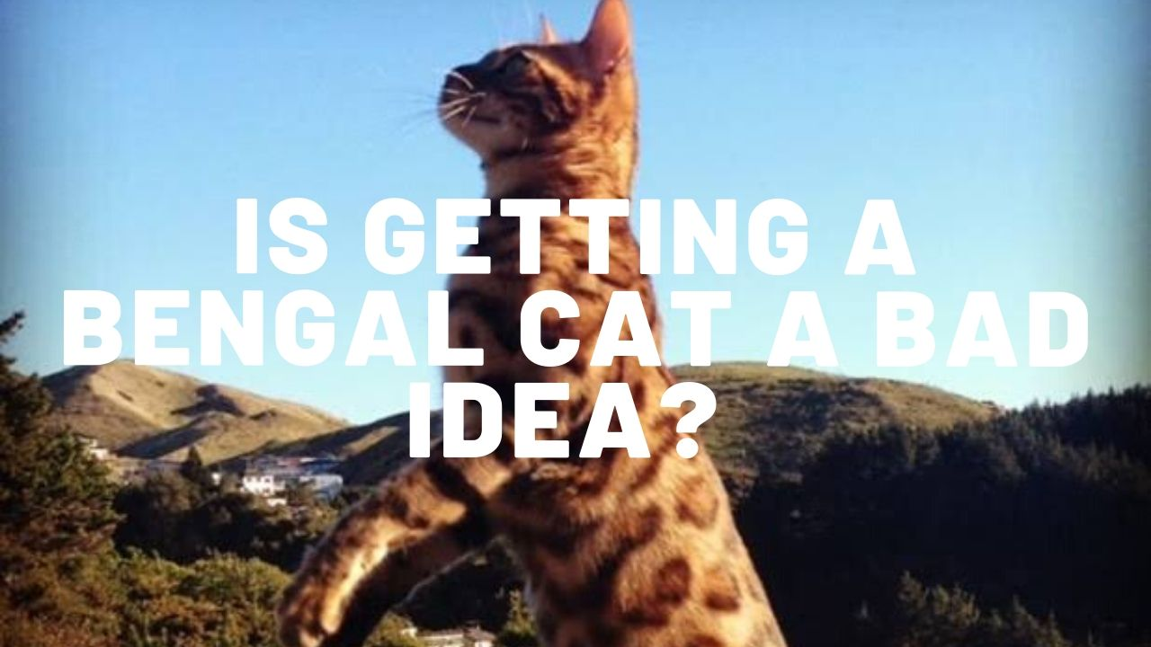 Is Getting A Bengal Cat A Bad Idea?