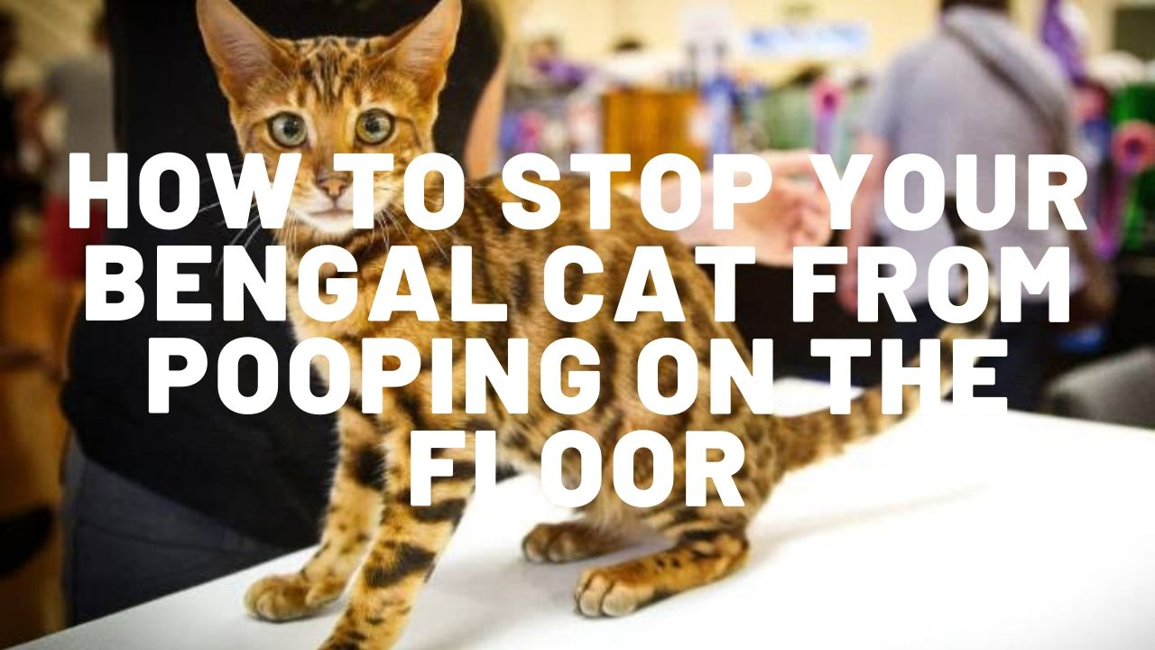 How To Stop Your Bengal Cat From Pooping On The Floor