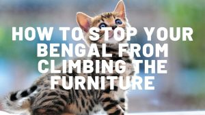 How To Stop Your Bengal Cat From Scratching the Furniture