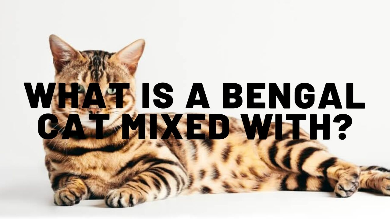 What Is A Bengal Cat Mixed With?