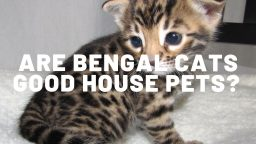 Are Bengal Cats Good House Pets?