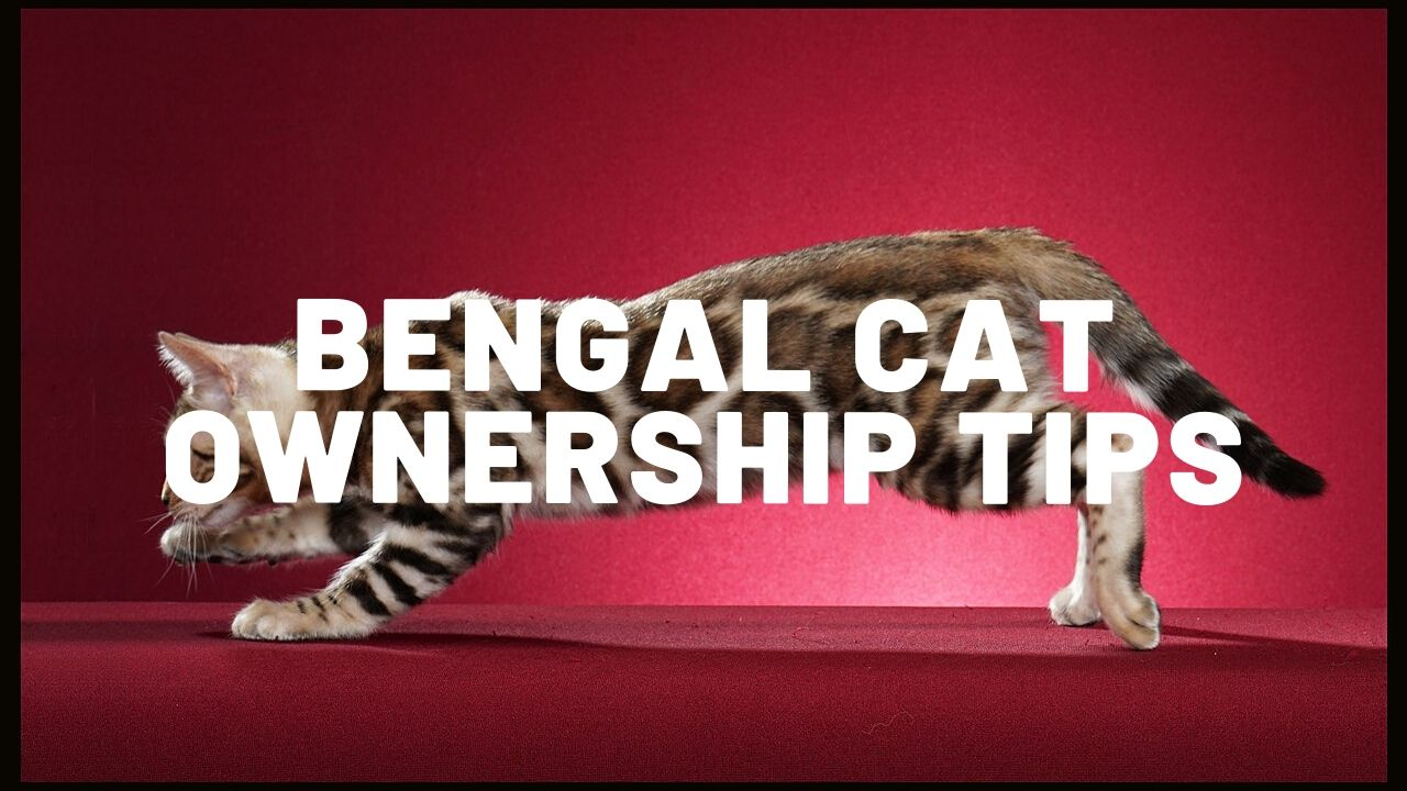 Bengal Cat Ownership Tips