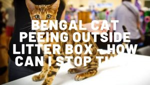 Bengal Cat Peeing Outside Litter Box - What Can I Do?
