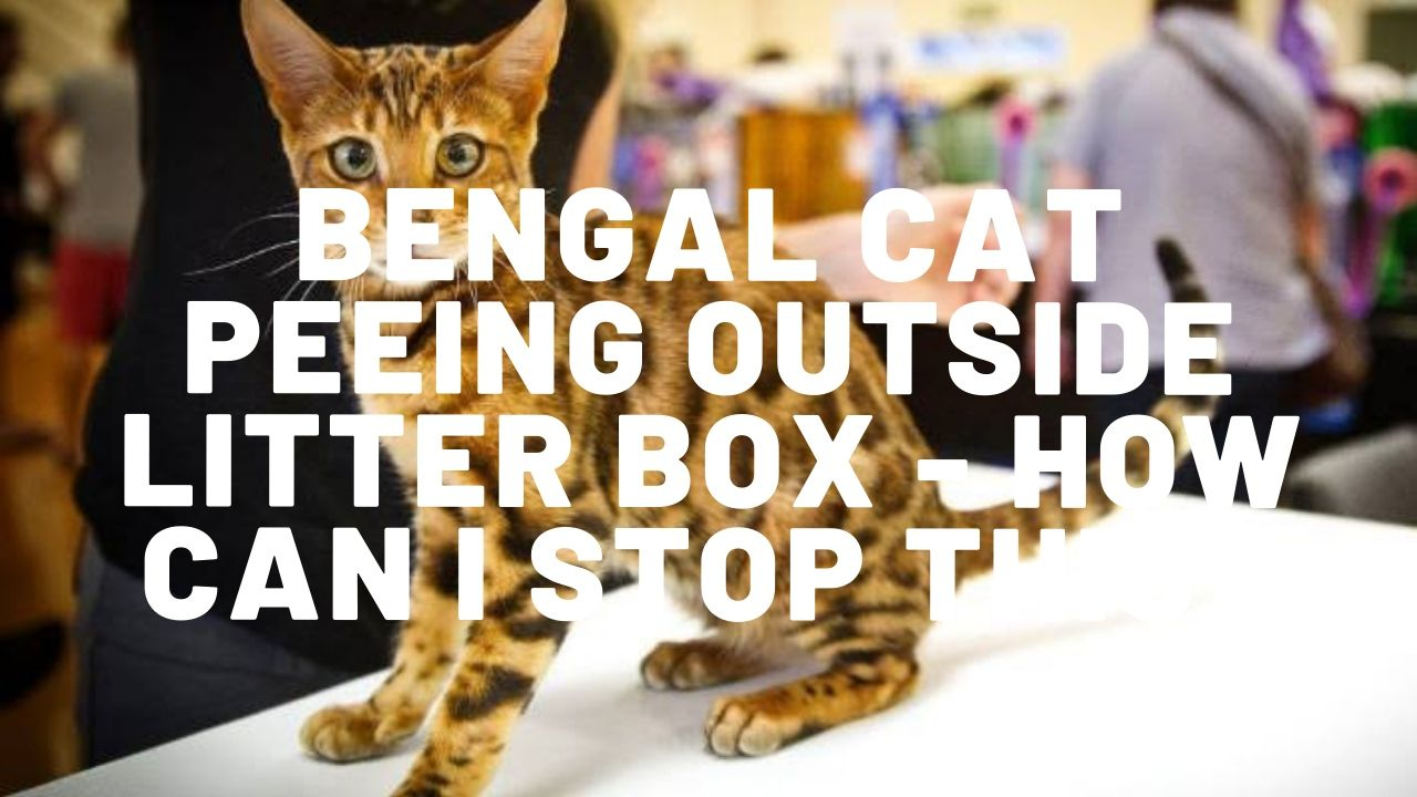 Bengal Cat Peeing Outside Litter Box – What Can I Do?