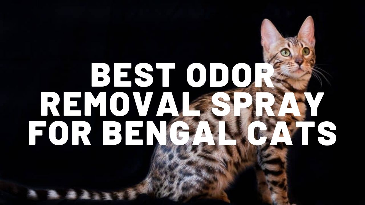 Best Odor Removal Spray For Bengal Cats