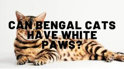 Can Bengal Cats Have White Paws?