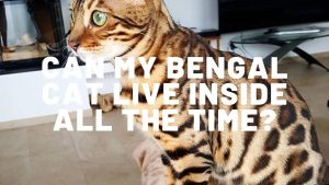 Can My Bengal Cat Live Inside All The Time?