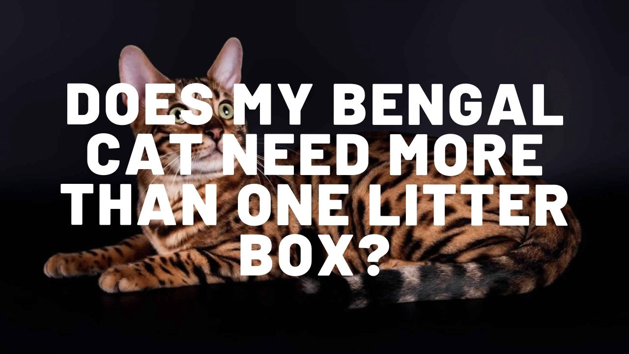 Should My Bengal Cat Have More Than One Litter Box?