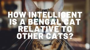 How Intelligent Is A Bengal Cat Relative To Other Cats?