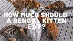 How Much Should A Bengal Kitten Eat?