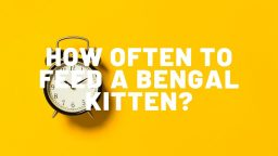 How Often To Feed A Bengal Kitten