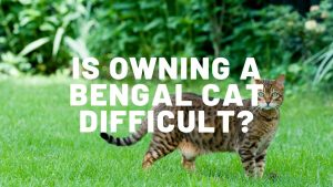 Is Owning A Bengal Cat Difficult?