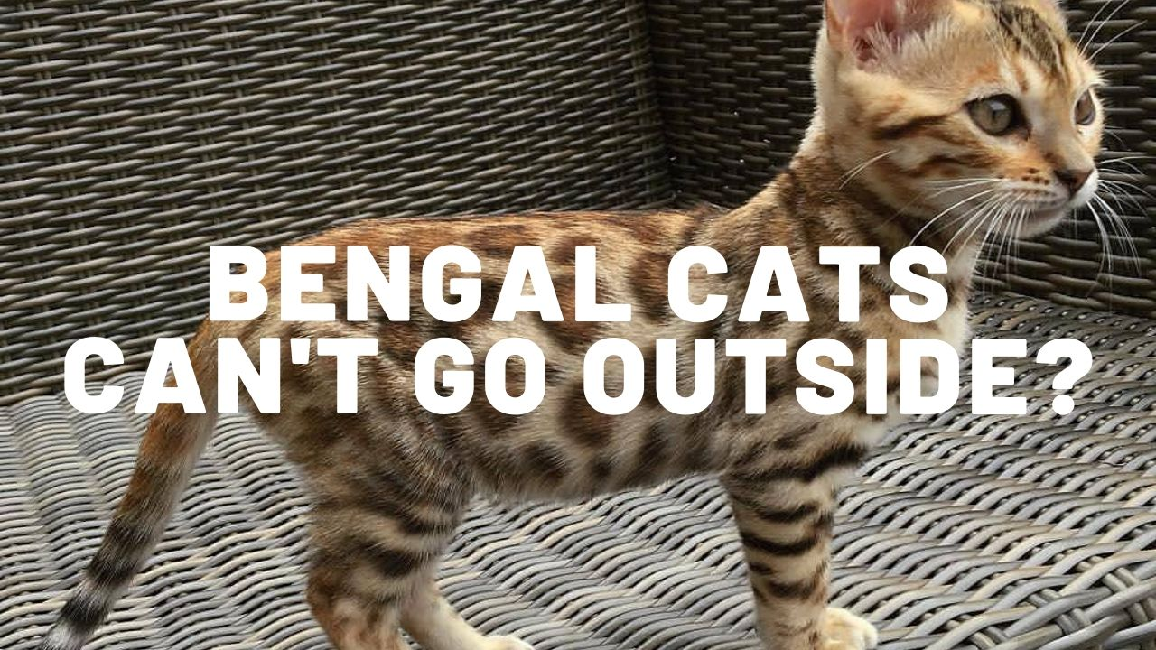 Is It True Bengal Cats Can't Go Outside?