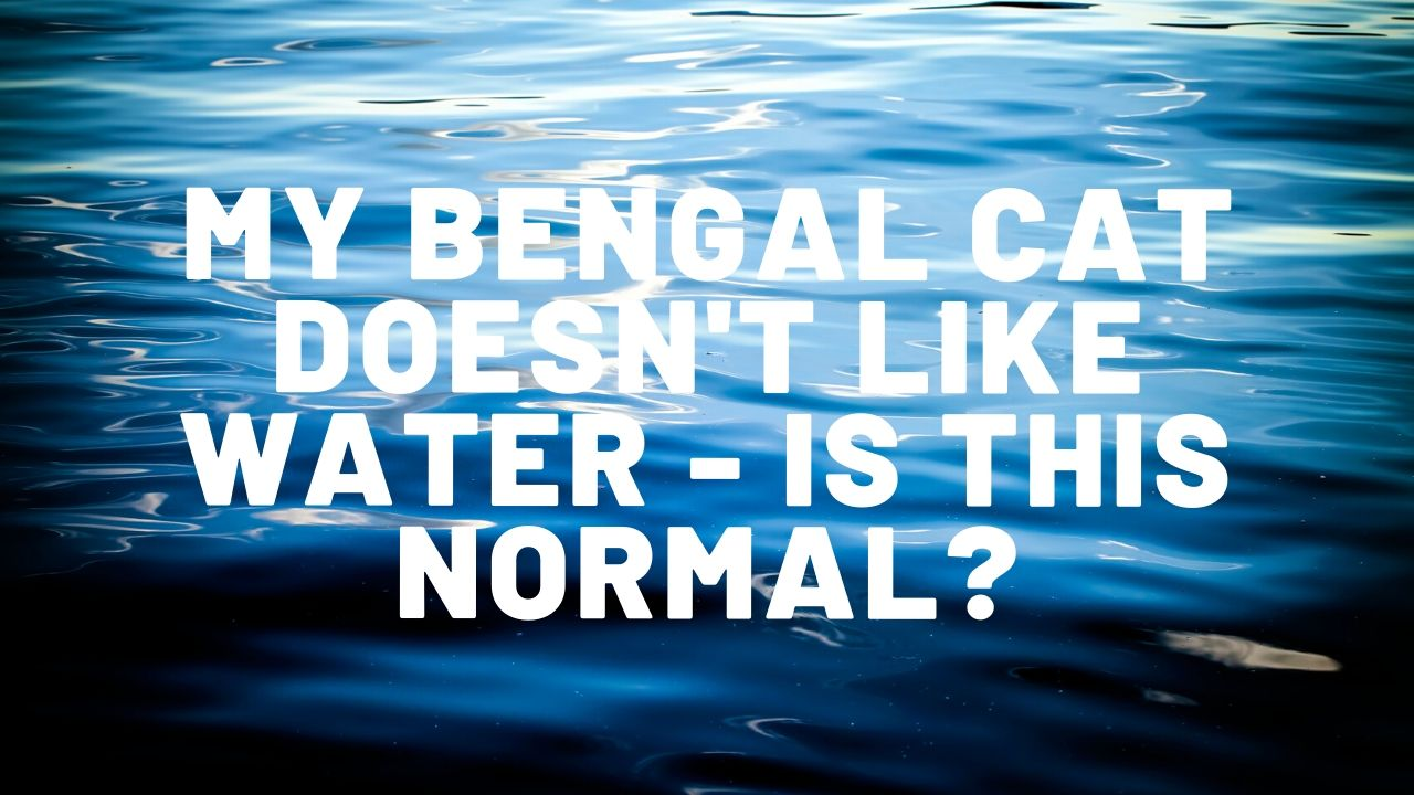 My Bengal Cat Doesn't Like Water – What Can I Do?