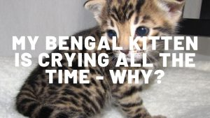 My Bengal Kitten Is Crying All The Time - Why?