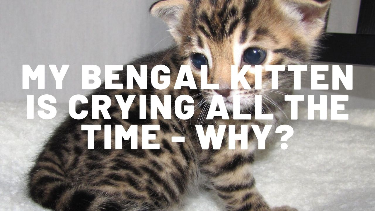 My Bengal Kitten Is Crying All The Time – Why?