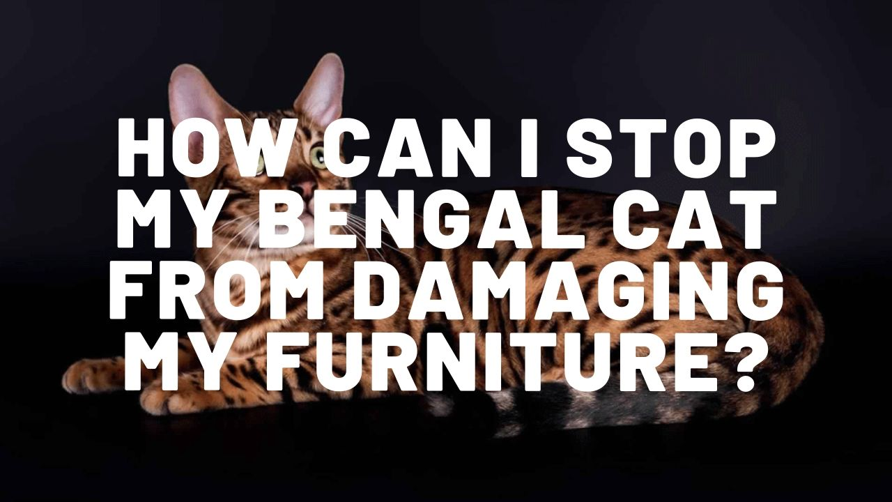 How Can I Stop My Bengal Cat From Damaging My Furniture?