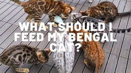 What Food Should I Feed My Bengal Cat?