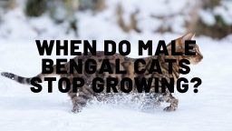 When Do Male Bengal Cats Stop Growing?