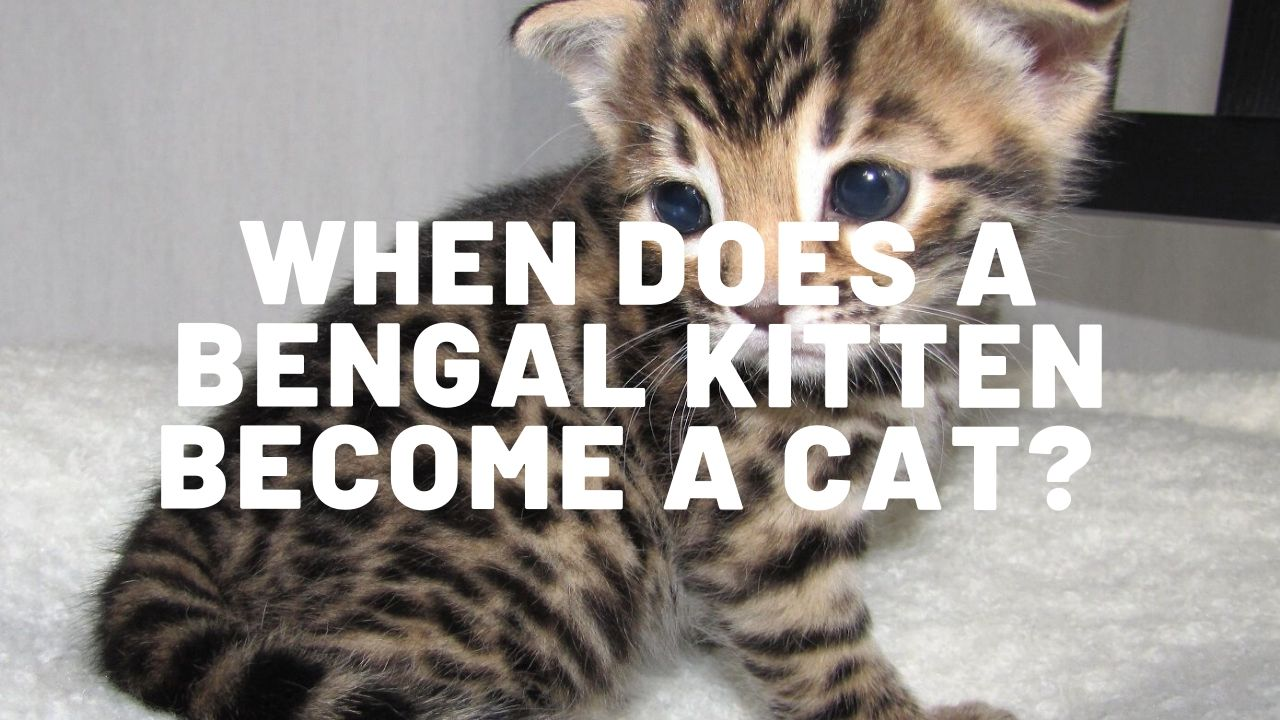 When Does A Bengal Kitten Become A Cat?