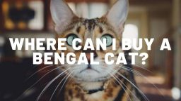 Where Can I Buy A Bengal Cat?