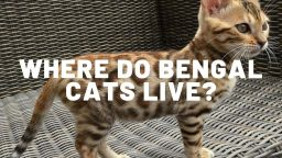Where Do Bengal Cats Live?
