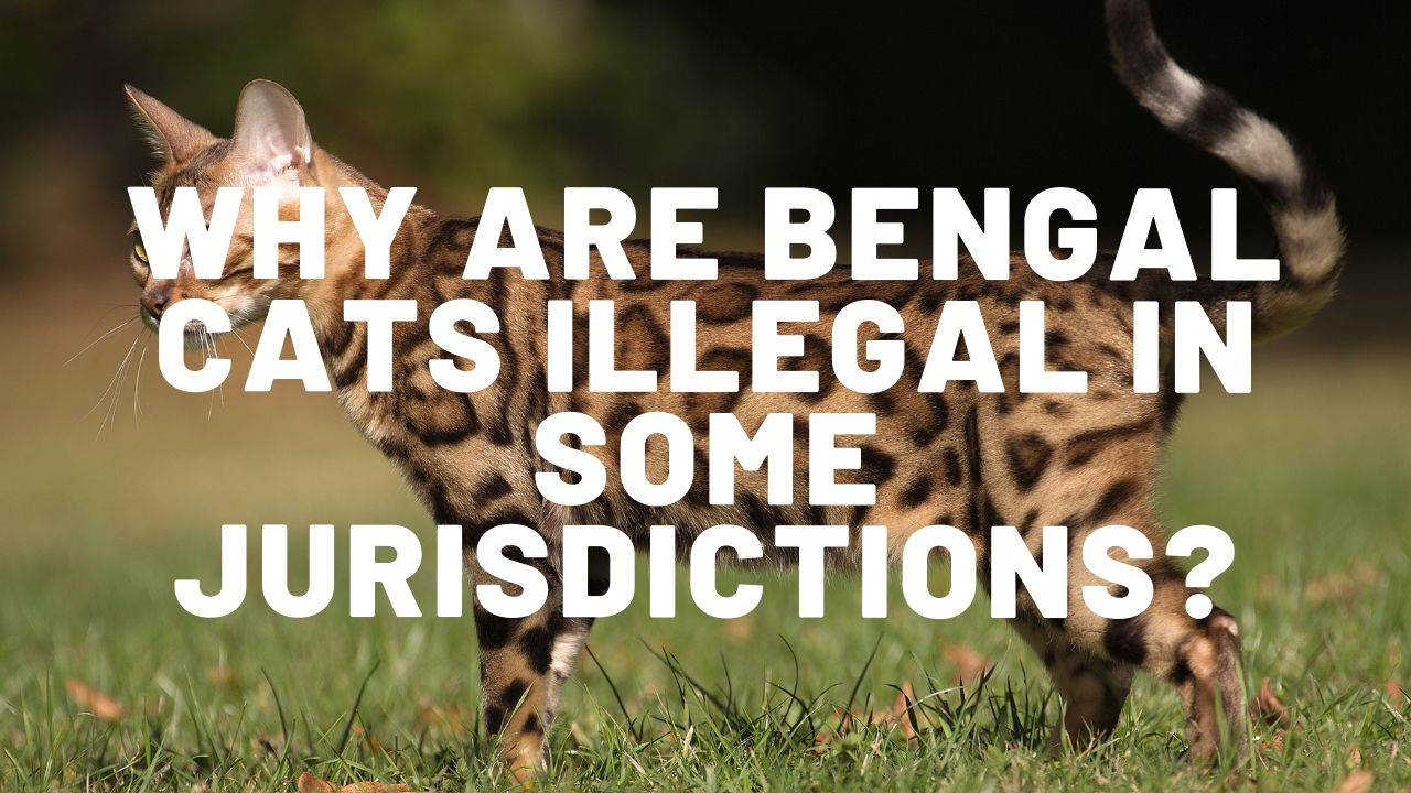 Why Are Bengal Cats Illegal?