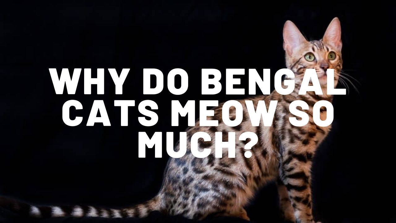 Why Do Bengal Cats Meow So Much?