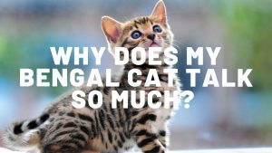 Why Do Bengal Cats Talk So Much?