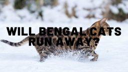 Will Bengal Cats Run Away?