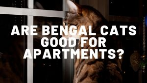 Are Bengal Cats Good For Apartments?