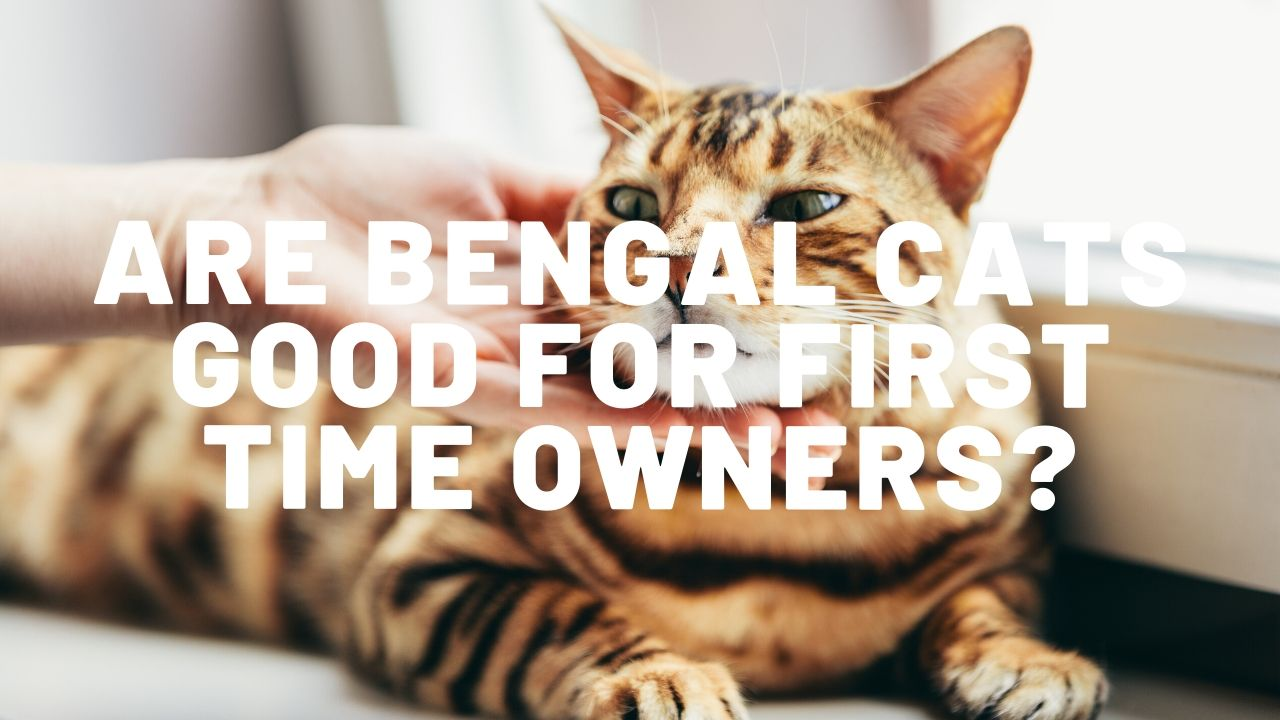 Are Bengal Cats Good For First Time Owners ?