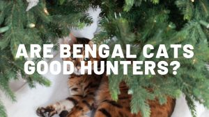 Are Bengal Cats Good Hunters?