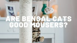 Are Bengal Cats Good Mousers?
