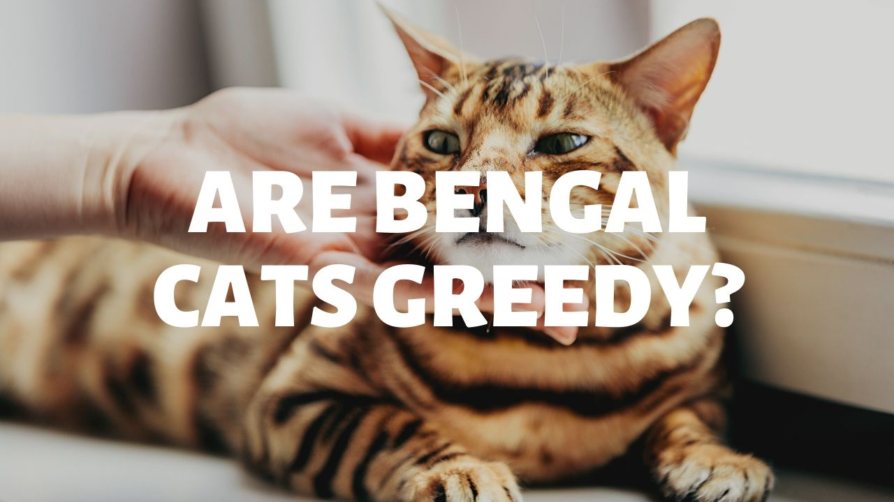 Are Bengal Cats Greedy?