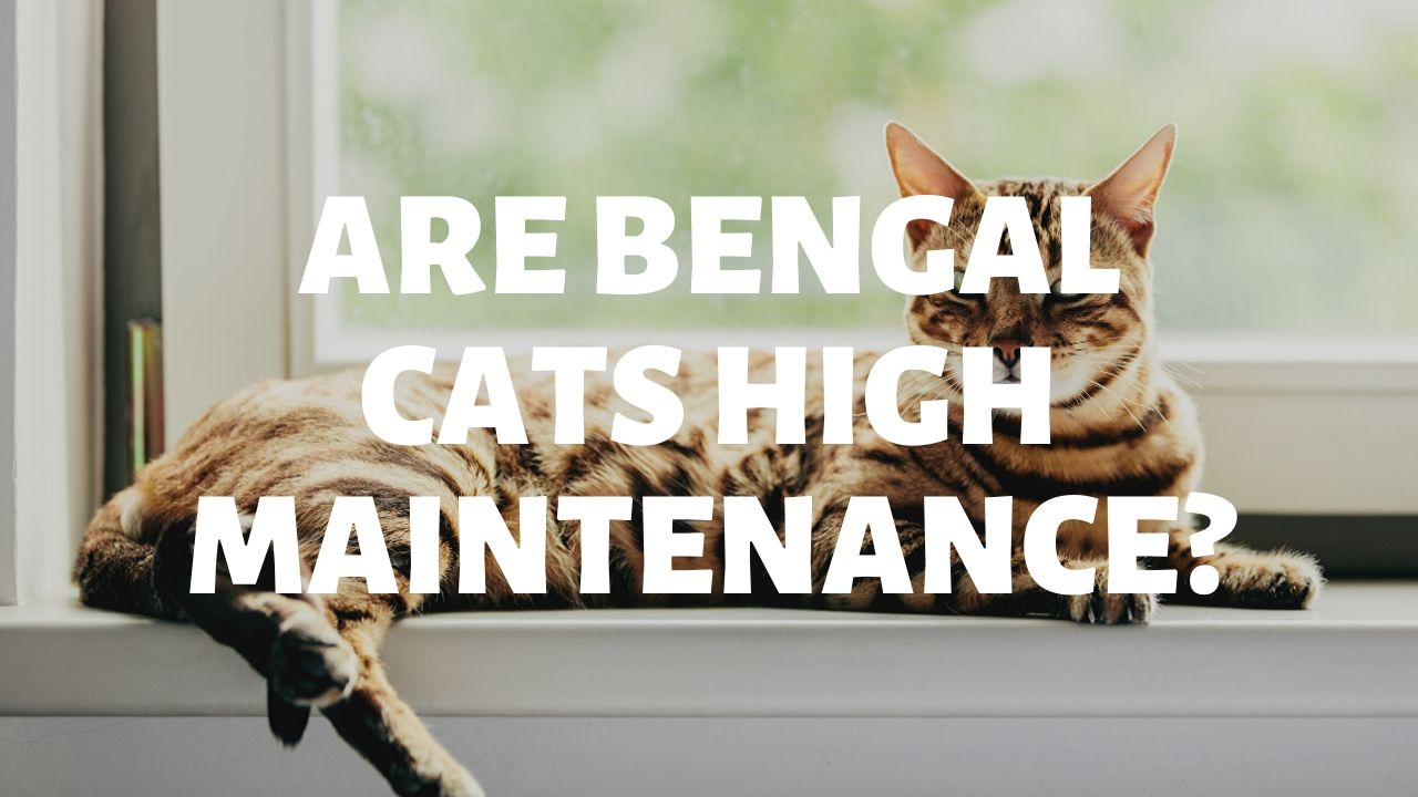 Are Bengal Cats High Maintenance?