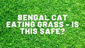 Bengal Cat Eating Grass - Is This Safe?
