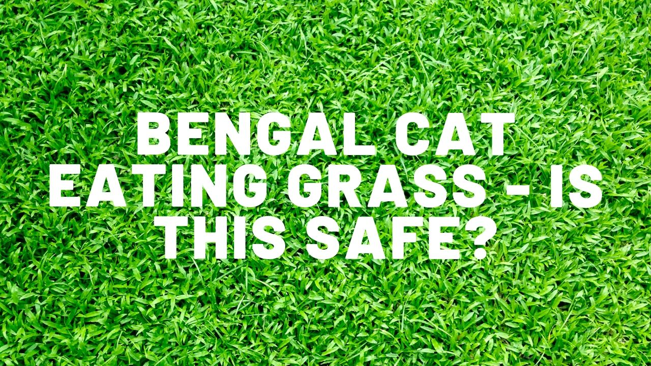 Bengal Cat Eating Grass – Is This Safe?
