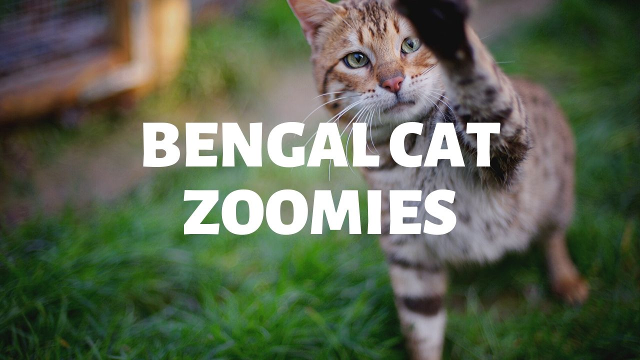 Bengal Cat Zoomies – Is This Normal?