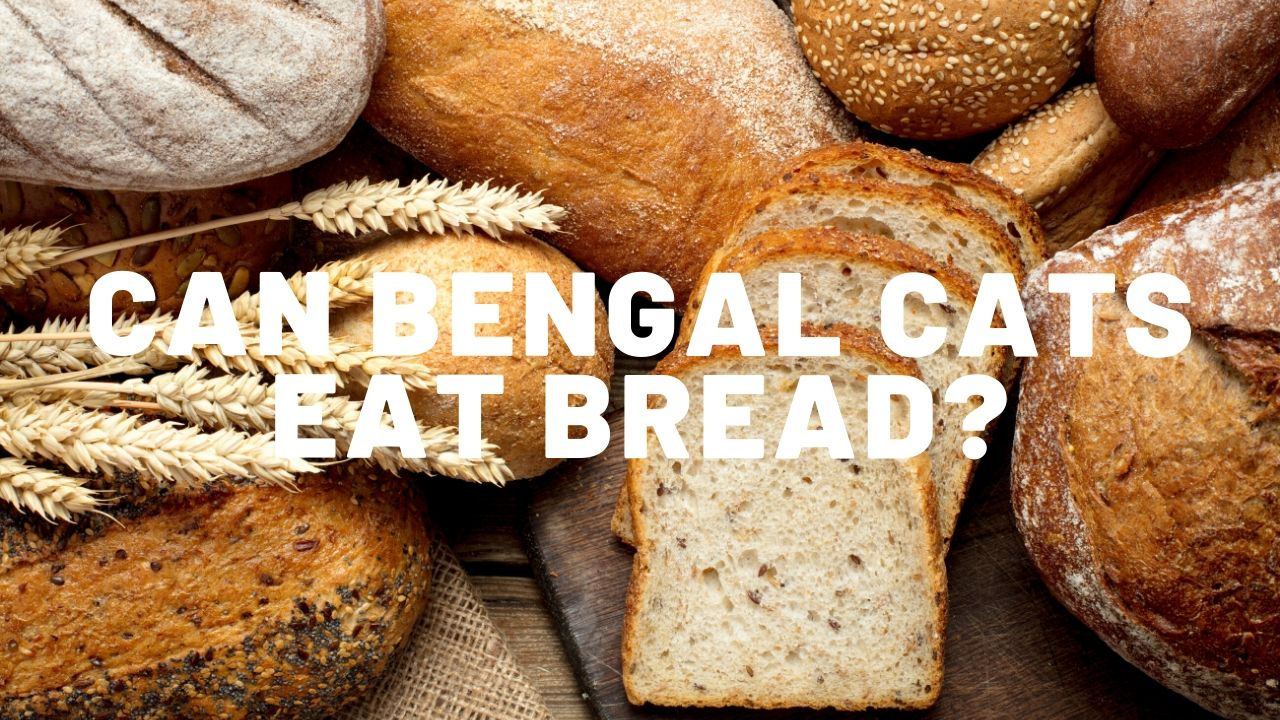 Can Bengal Cats Eat Bread?